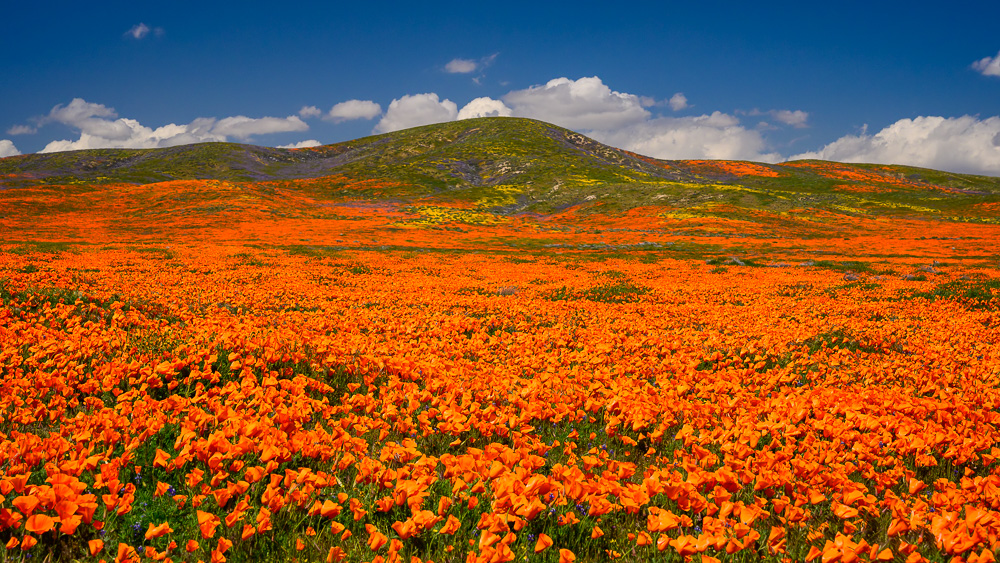 MAB-20190402-CA-ANTELOPE-VALLEY-POPPIES-70135.jpg